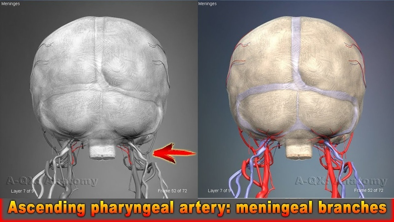 Ascending pharyngeal artery meningeal branches | Arteries of head and neck | 3D Human Anatomy