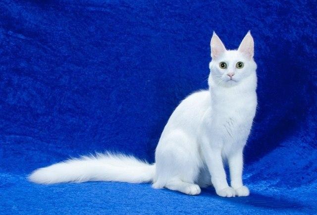Характер, уход и питание турецкой кошки