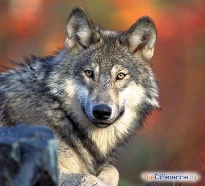 Разница между волком и собакой Как правильно заметил Конрад Лоренц: «Нет другого животного, которое так кардинально изменило бы весь образ жизни, всю сферу своих интересов, стало бы до такой