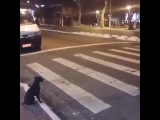 This smart dog knows exactly when to cross the street!!!