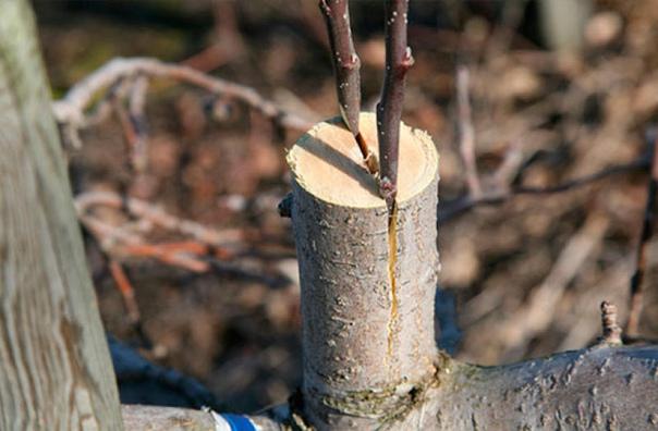 как привить яблоню летом пошаговая инструкция для начинающих если вы не успели привить яблони весной, черенки не прижились или же вы просто хотите попробовать что-то новое в садоводстве,