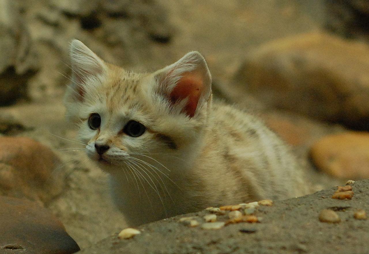 Размножение барханной кошки. Детеныши