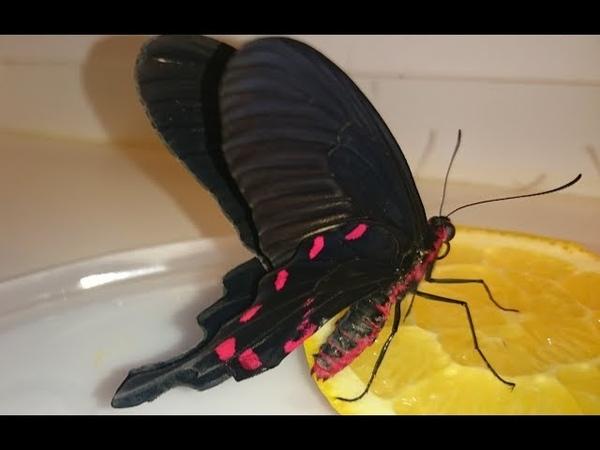 Вывелась бабочка Парусник Коцебу у нас в квартире