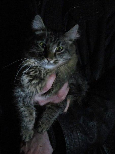 """Сибирский"" кот Енот, 1.5 года, кастрирован, привит"