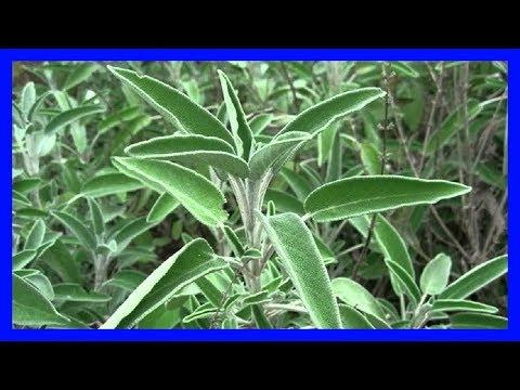 Remedios caseros Blanquéate los Dientes con Salvia una Hierba de Múltiples Usos
