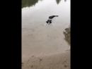 New breed of crocodile stalking its prey