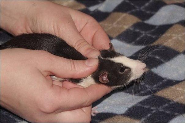 Чем лечит крысу в домашних условиях