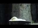 Белая медведица резвится в ледяных кубиках