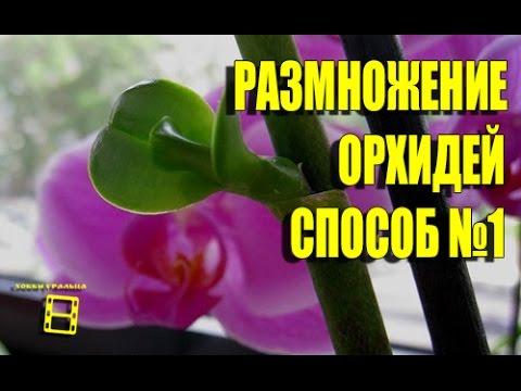 Размножение орхидей фаленопсис. Способ №1(начало). Орхидеи видео.