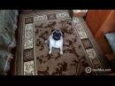 Собака показывает, как умер Гуф смотреть онлайн приколы. Видео, смотреть