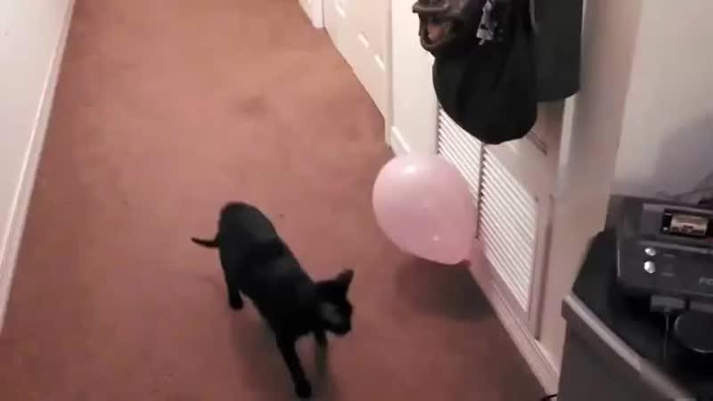 Коты лопают воздушные шарики Приколы 360 X 640 mp4