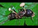 Гриб растет прямо из насекомого, зараженные насекомые.