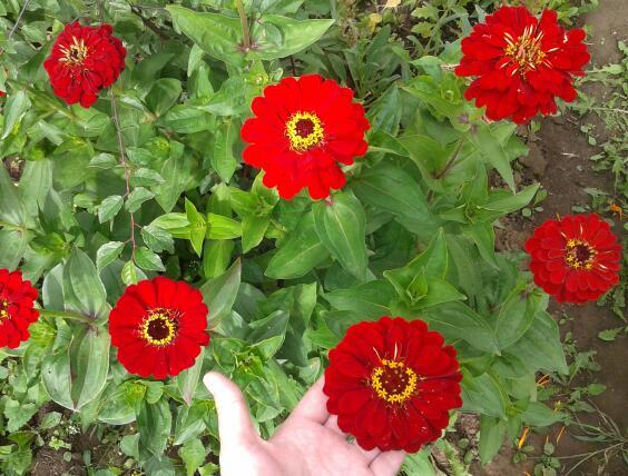 Цветы у Ликки KAKAeFAKPGc
