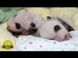 Первые 100 дней из жизни панды