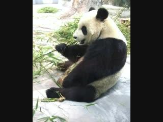 Панды в Hainan Tropical Wildlife Park and Botanical Garden (Сафари-парк в Хайкоу)
