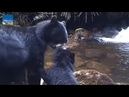 Mama bear drags her adorably reluctant cub across small stream