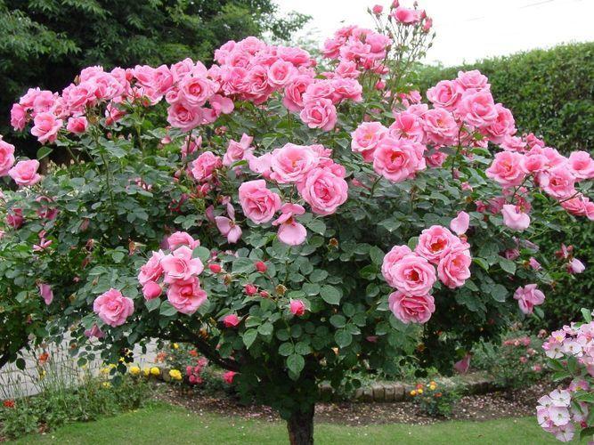 8 секретов выращивания роз.