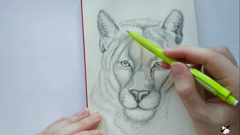 Рисуем пуму. Карандашная графика. Рисунок кошки. Поэтапное рисование. Бесплатный урок