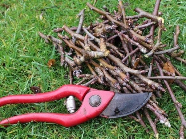 Обрезаем вишню. Отличия в работе над древовидными и кустовидными вишнями.