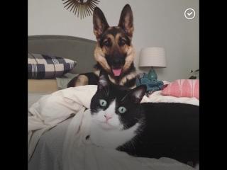 Дружба грозной овчарки и милого котика