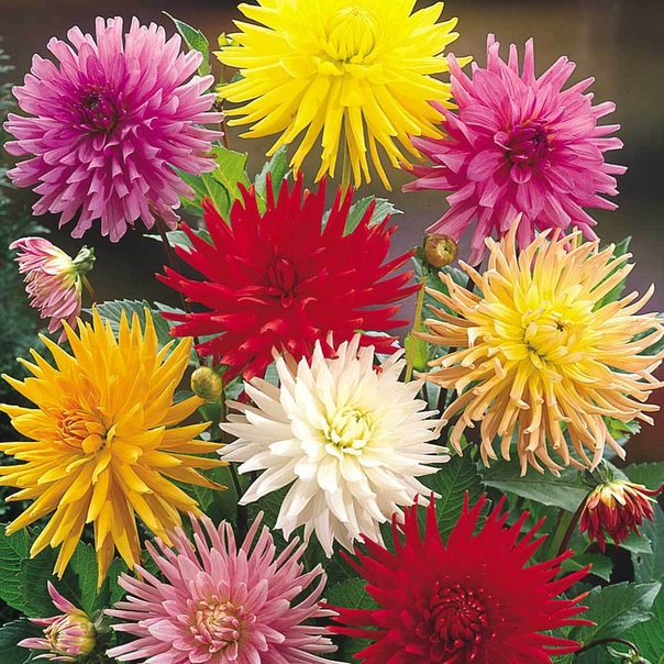 ВЫРАЩИВАНИЕ ГЕОРГИН По своей яркости и красоте георгины легко могут соперничать даже с розами. Эти цветы классифицируют как многолетники, не зимующие в открытом грунте. Георгины сравнительно