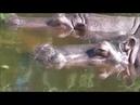 Ili jest hipopotamow w Warszawne