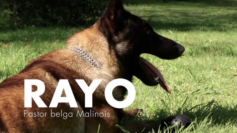 Entrenamiento de Rayo, pastor belga malinois