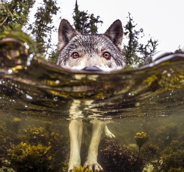 В Британской Колумбии существует популяция необычных волков, известных как «морские волки»
