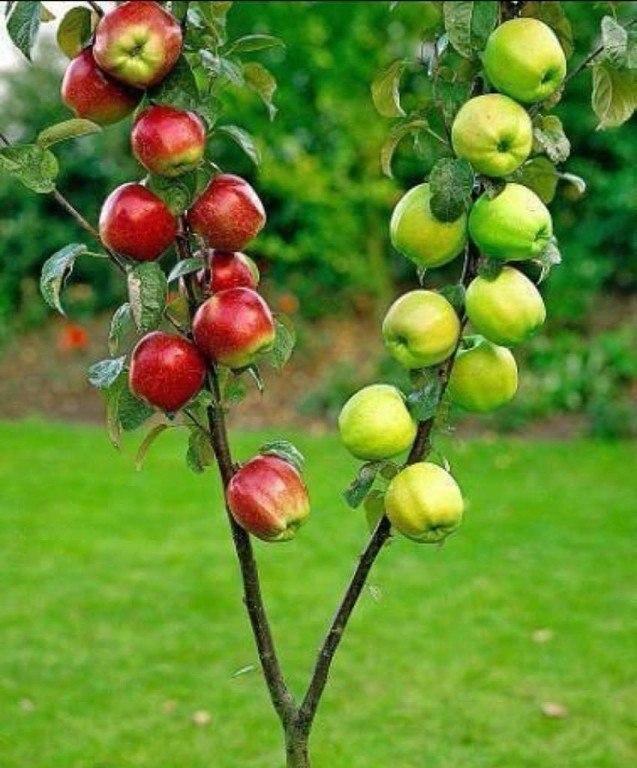 Прививка яблонь