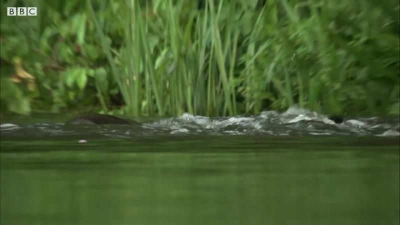 Семья выдр убила крокодила._CaimanBBC_EarthBBC_Earth238