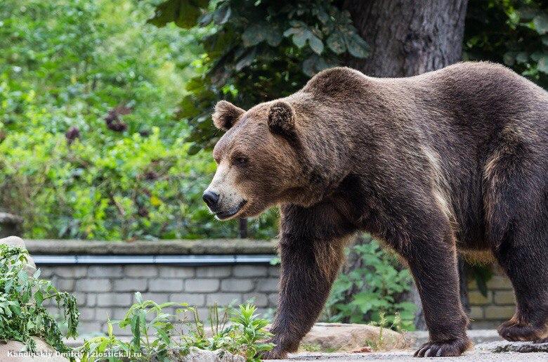 Охотники отстрелили медведя, который ел ранетки возле домов в Зырянском районе