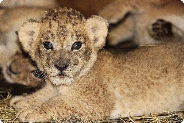 Американский зоопарк Майами (Zoo Miami) с радостью представил сразу четырех детенышей африканского льва, родившихся у них 6 марта. Большую часть времени львята находятся в логове... #zoopicture
