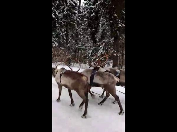 Катание в санях с северными оленями!8(916)702-11-08 Москва