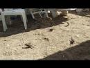 Супер бюджетные туристы ( Челябинские воробьи на пляже Клеопатра обедают)