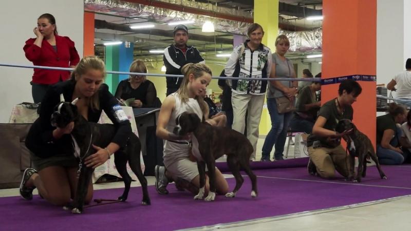 Национальная выставка НКП Немецкий боксер 2018. Суки класс беби