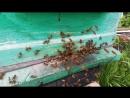 наша пасека цветёт черемуха и одуванчики первый тёплый день 22 пчёлы кайфуют