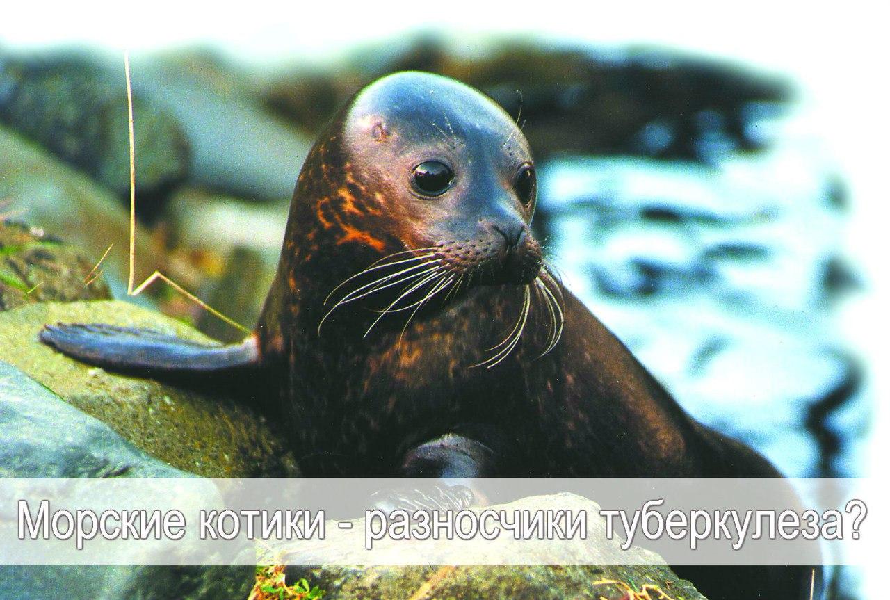 Морские котики заразили первых американцев туберкулезом