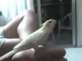 Имперский марш в исполнении попугая
