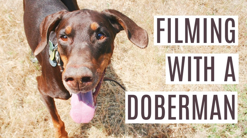 Filming with a Doberman