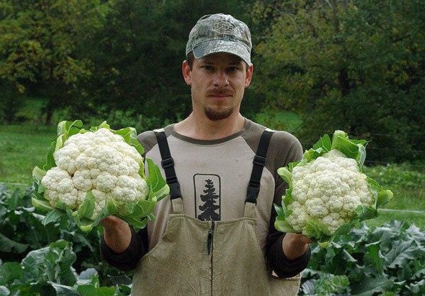 Как же правильно выращивать цветную капусту Для того чтобы получить ранний урожай, выращивают ее рассадным способом. Технология эта несложная, но соблюдать некоторые рекомендации необходимо.