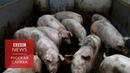 Ученые частично оживили мозг свиньи: как это поможет людям