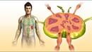 ✅Это мощное растение быстро избавит от воспаленных лимфатических узлов!
