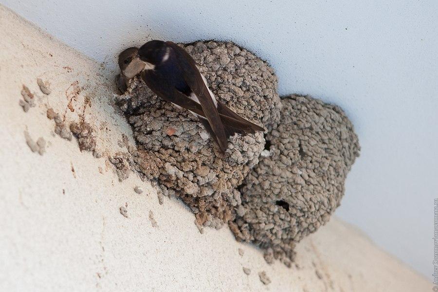 Ласточка кормит птенца в гнезде
