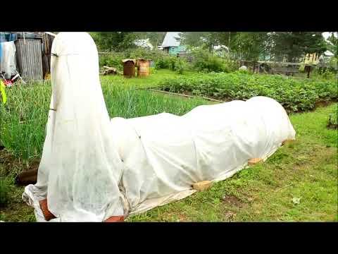 Огородные причуды от соседки!) Огурец,вооооот тааааакиииих размеров