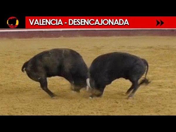 TORO PELIGROSO | EL REY DE LA CAMADA - DESENCAJONADA