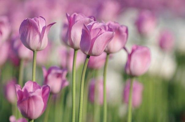 Тюльпаны, как трепетные сердечки...