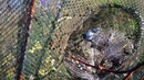 ЛОВИМ РАКОВ. Что будет если поставить раколовки на 7 дней на неизвестном водоеме crayfish catching.
