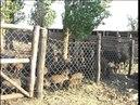 Фильм Африканская чума свиней