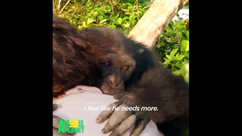 Эта обезьянка пробыла всё детство в лаборатории, и чтобы освоиться ей нужен человек-друг, который покажет этот мир)