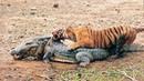 12 lần Vua đầm lầy thảm bại trong thế giới động vật